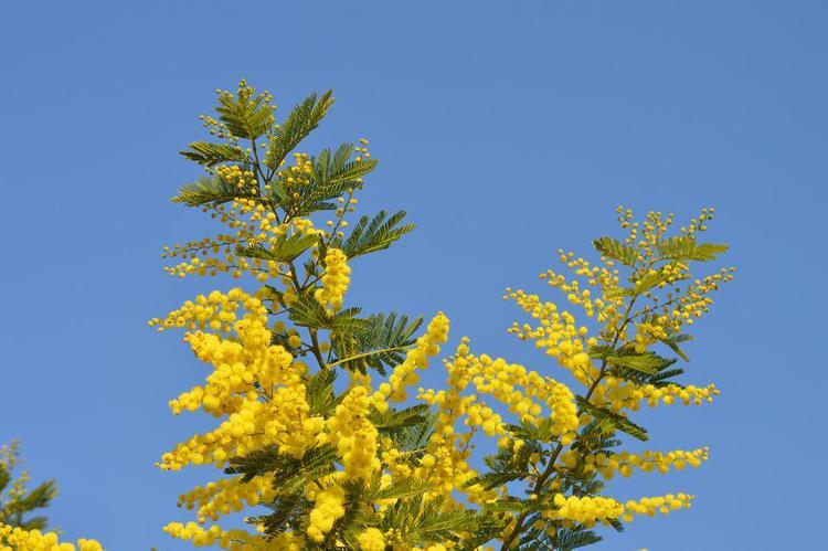 mimosa-2081978_960_720.jpg