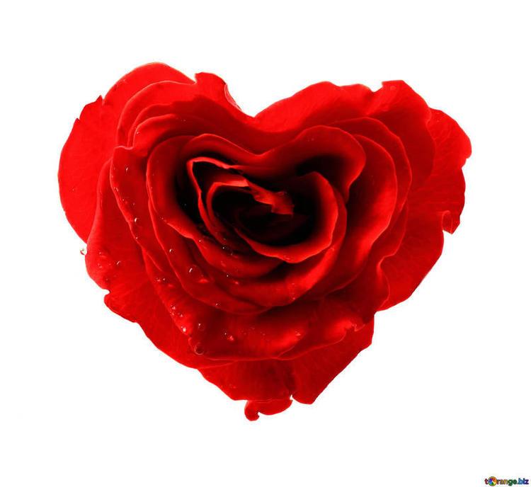 rose-flower-flowers-roses-isolated-heart-17029.jpg